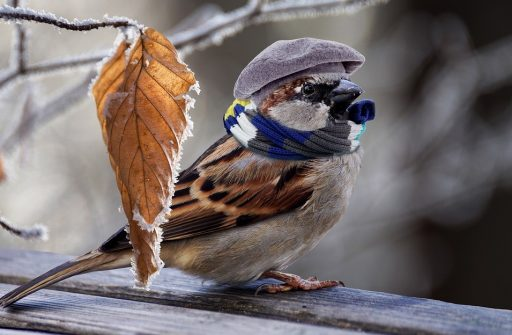 Sparrow in winter wearing hat and woolly scarf